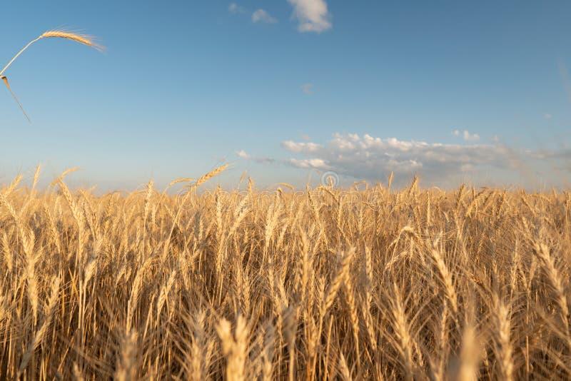 Heldere achtergrond van tarwe Gebied van tarwe tegen de achtergrond van een heldere hemel Toekomstig brood stock foto's