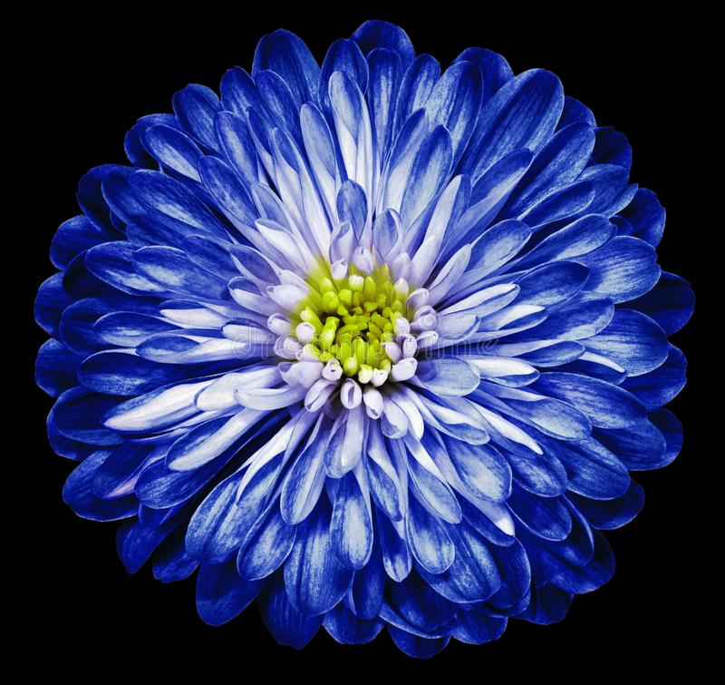 Heldere blauwe bloemchrysant, tuinbloem op de zwarte wit geïsoleerde achtergrond close-up royalty-vrije stock fotografie