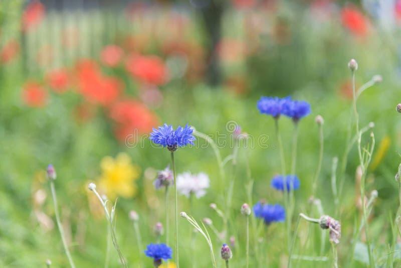Heldere blauwe korenbloemen die in de zomertuin bloeien met rode rozen op achtergrond royalty-vrije stock foto