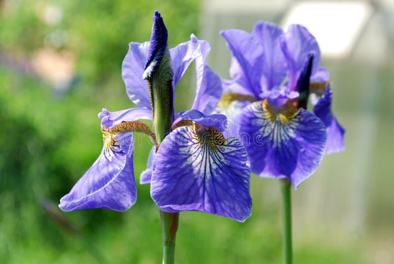 Heldere blauwe twee bloemeniris royalty-vrije stock foto's