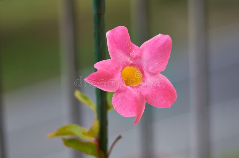 Heldere bloemen Mandevilla close-up op de achtergrond van groen Romantic Mandevilla voor de tuin stock foto