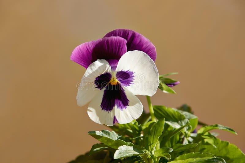Heldere bloemen van de pansieën op de achtergrond van een ruwe wand pansies voor decoratie royalty-vrije stock foto's