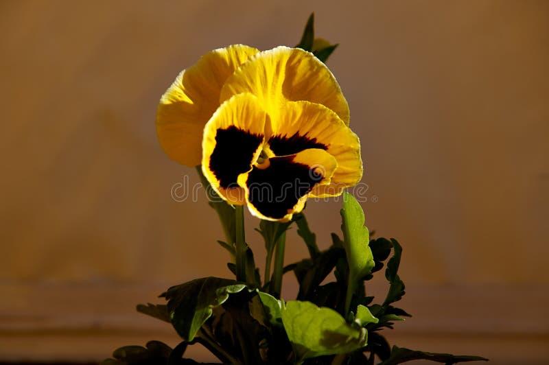 Heldere bloemen van de pansieën op de achtergrond van een ruwe wand pansies voor decoratie royalty-vrije stock afbeelding