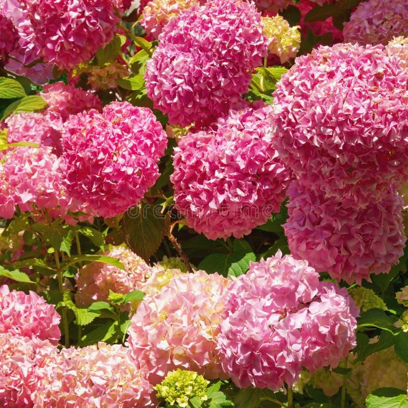 Heldere bloemen van Hydrangea hortensia in de tuin op zonnige dag stock foto's