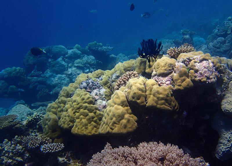 Heldere Coral Reef met Zwarte Crinoid-Veerster en Blauwe Achtergrond stock afbeeldingen