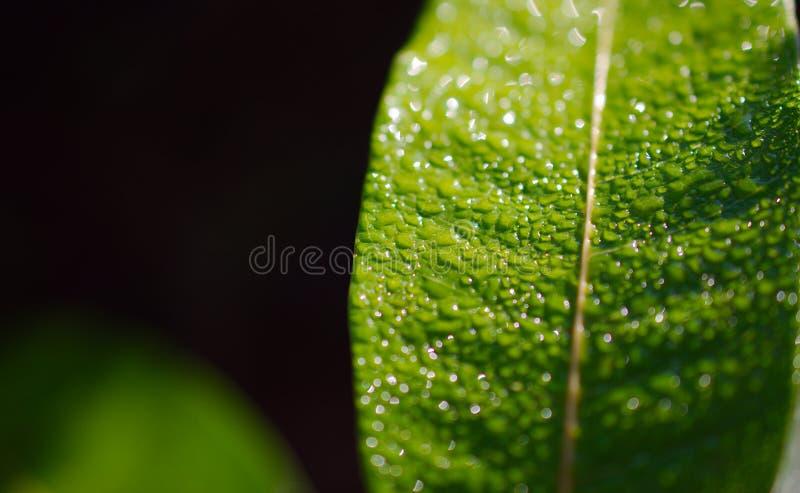 Heldere dauwdaling op een vers groen blad macroschot royalty-vrije stock fotografie