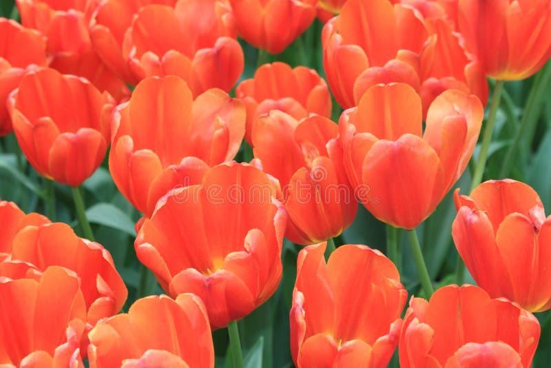 Heldere de lentetulpen dicht bij elkaar en vormt een mooie heldere achtergrond royalty-vrije stock fotografie