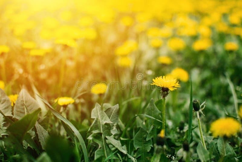 Heldere de zomer horizontale achtergrond, banner Paardebloemen met zonlicht op groen gras Groen gebied met gele paardebloemen clo stock foto
