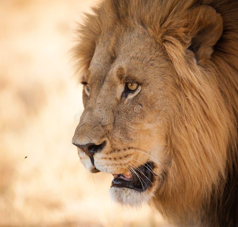 Heldere dichte omhooggaand van de ogenleeuw in Afrika stock afbeeldingen