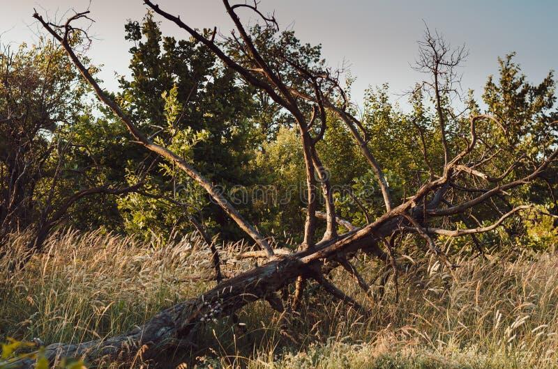 Heldere duidelijke aartjes in het ochtendzonlicht op de achtergrond van een de zomergebied van wilde kruiden Zachte nadruk royalty-vrije stock fotografie