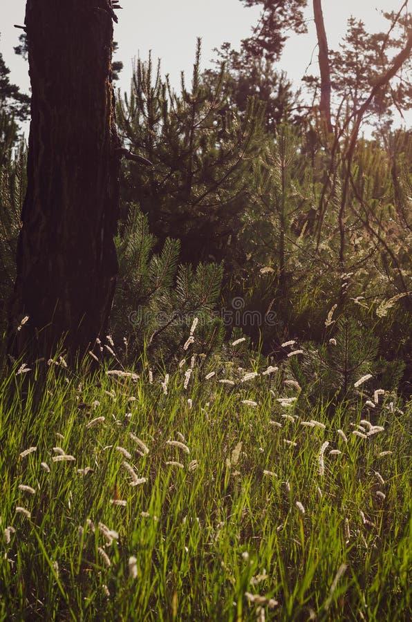 Heldere duidelijke aartjes in het ochtendzonlicht op de achtergrond van een de zomergebied van wilde kruiden Zachte nadruk stock foto