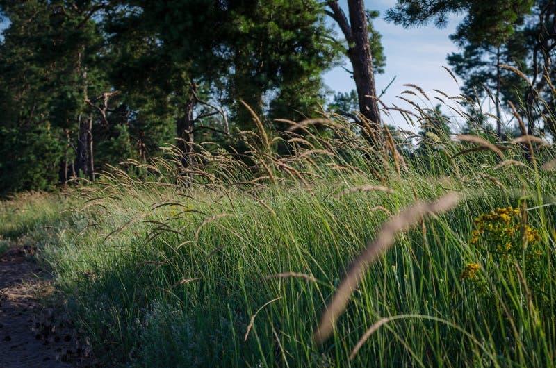 Heldere duidelijke aartjes in het ochtendzonlicht op de achtergrond van een de zomergebied van wilde kruiden Zachte nadruk royalty-vrije stock foto