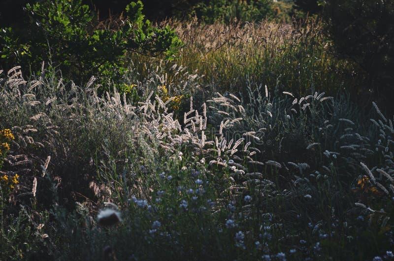 Heldere duidelijke aartjes in het ochtendzonlicht op de achtergrond van een de zomergebied van wilde kruiden Zachte nadruk stock afbeeldingen