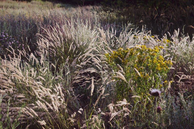 Heldere duidelijke aartjes in het ochtendzonlicht op de achtergrond van een de zomergebied van wilde kruiden Zachte nadruk stock afbeelding
