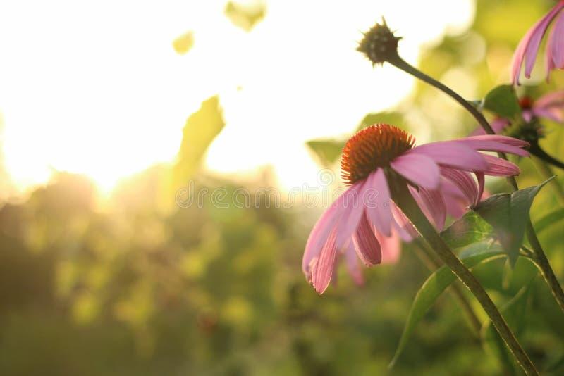 Heldere Echinacea-purpurea in het zonlicht Mooie purpere coneflowerbloemen royalty-vrije stock foto's