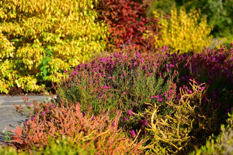 Heldere en kleurrijke dopheide en heiden in de Botanische Tuinen van Christchurch royalty-vrije stock afbeelding