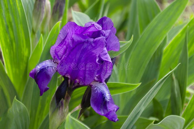 Heldere en opzichtige blauwe dichte omhooggaand van de Irisbloem royalty-vrije stock fotografie