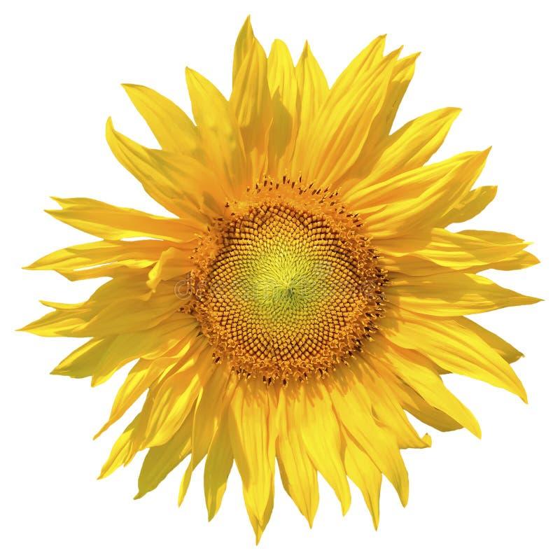 Heldere geïsoleerde zonnebloem tegen witte achtergrond stock foto