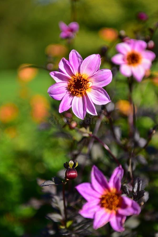 Heldere gekleurde Dahlia's die in de Botanische Tuinen van Christchurch bloeien royalty-vrije stock foto