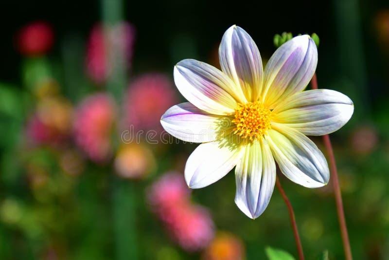 Heldere gekleurde Dahlia's die in de Botanische Tuinen van Christchurch bloeien stock afbeeldingen