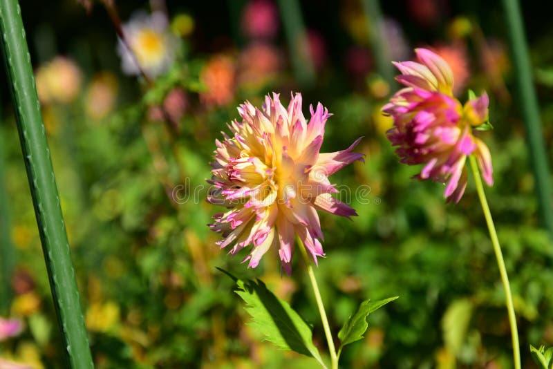 Heldere gekleurde Dahlia's die in de Botanische Tuinen van Christchurch bloeien stock afbeelding