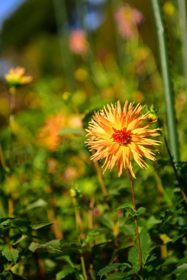 Heldere gekleurde Dahlia's die in de Botanische Tuinen van Christchurch bloeien royalty-vrije stock afbeelding