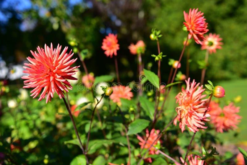 Heldere gekleurde Dahlia's die in de Botanische Tuinen van Christchurch bloeien royalty-vrije stock foto's