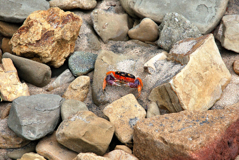 Heldere Gekleurde Krab in Nicaragua stock foto's