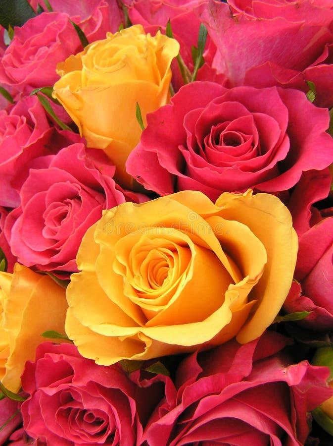 Heldere gekleurde rozen royalty-vrije stock foto