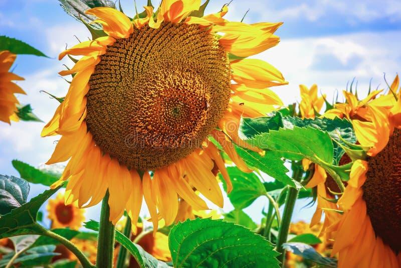 Heldere gele bloem van een zonnebloem tegen een blauwe hemel op een sunn royalty-vrije stock foto's