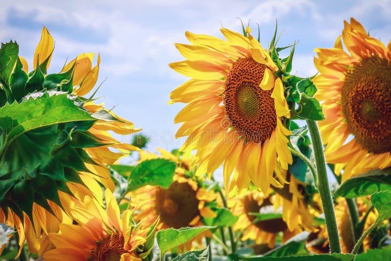 Heldere gele bloem van een zonnebloem tegen een blauwe hemel op een sunn stock foto's