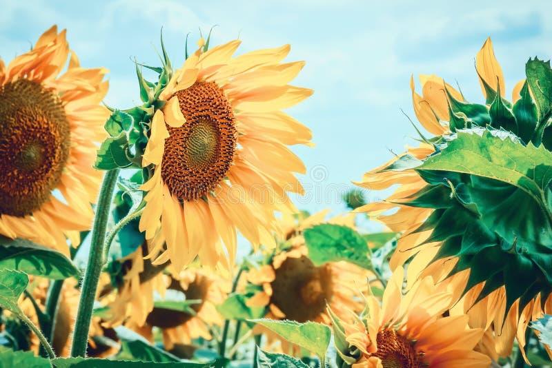 Heldere gele bloem van een zonnebloem tegen een blauwe hemel op een sunn stock afbeelding