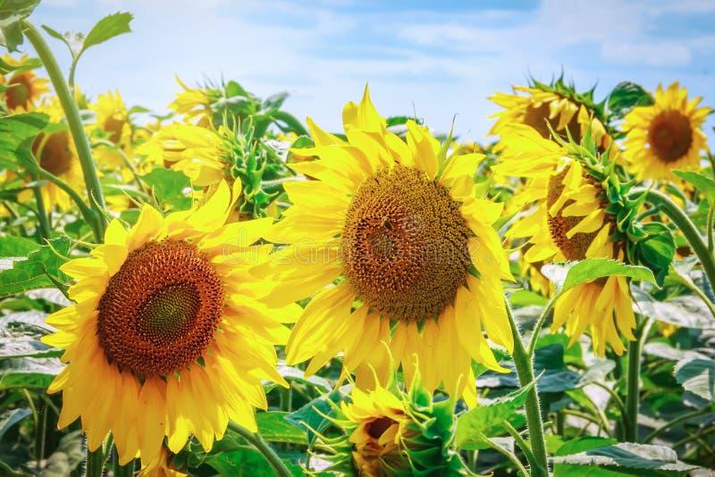 Heldere gele bloem van een zonnebloem tegen een blauwe hemel op een sunn royalty-vrije stock foto