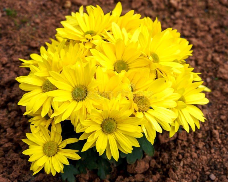 Heldere gele chrysantenbloemen in de tuin Gouden mums in de herfst royalty-vrije stock afbeelding
