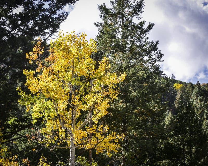 Heldere Gele Dansende Aspen Leaves Among Tall Evergreen-Bomen stock afbeelding