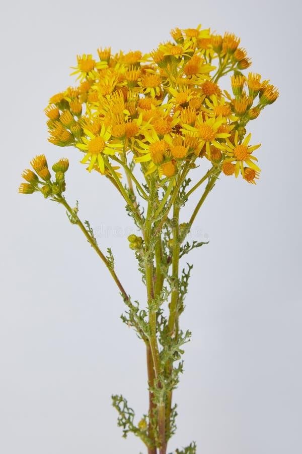 Heldere gele die vernalis van wildflowerssenecio, Asteraceae op witte achtergrond wordt geïsoleerd stock afbeelding