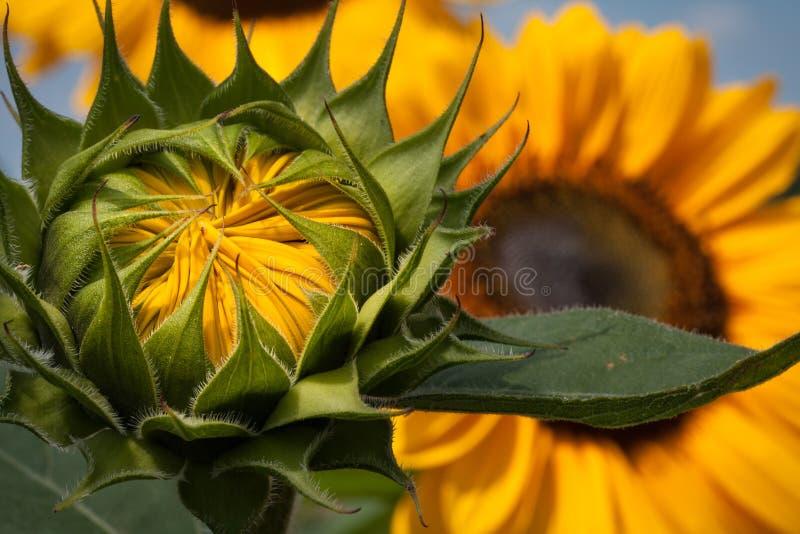 Heldere gele knop van de Zonnebloem royalty-vrije stock fotografie