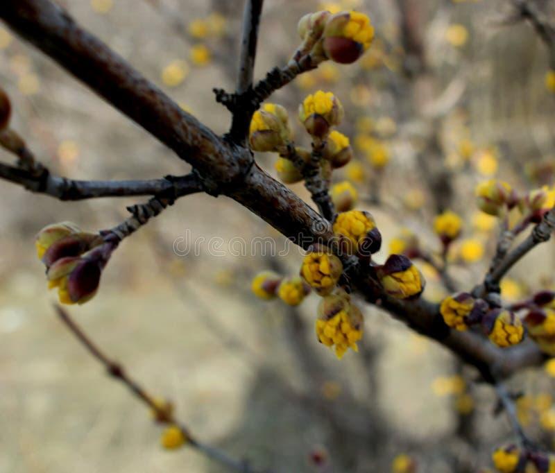 Heldere gele knoppen van kornoeljeboom royalty-vrije stock afbeelding