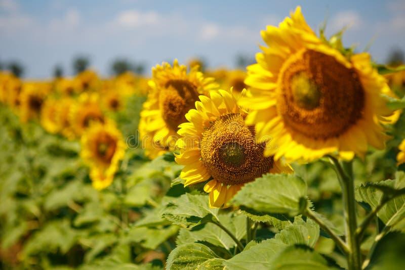 Heldere gele, oranje zonnebloembloem op gebied stock foto's