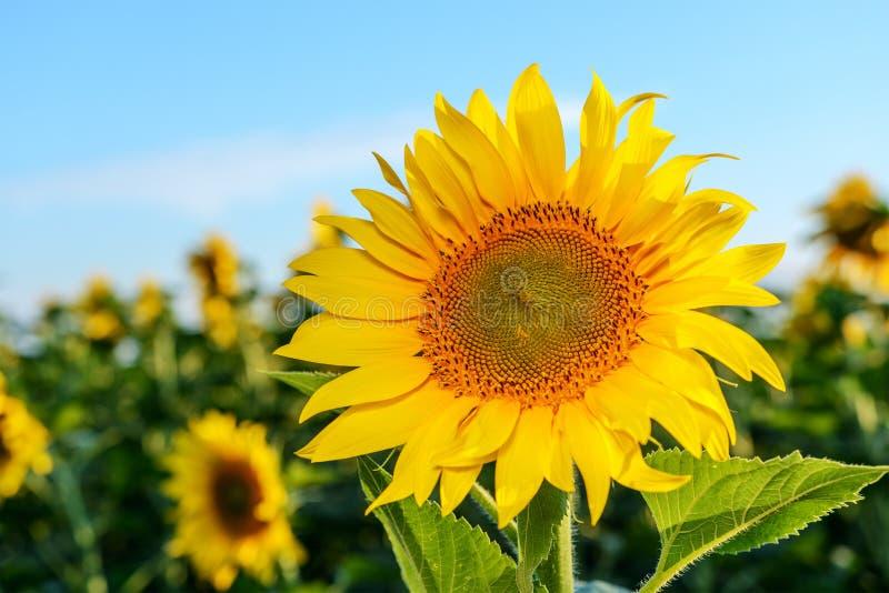 Heldere gele, oranje zonnebloembloem op zonnebloemgebied stock fotografie