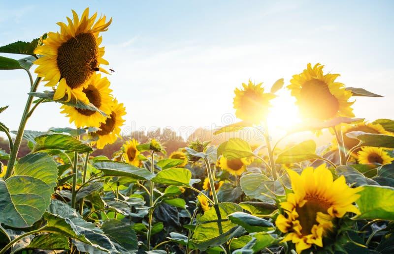 Heldere gele, oranje zonnebloembloem op zonnebloemgebied Mooi landelijk landschap van zonnebloemgebied in de zonnige zomer stock foto's