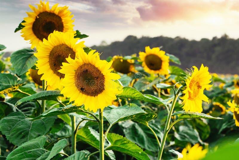 Heldere gele, oranje zonnebloembloem op zonnebloemgebied Mooi landelijk landschap van zonnebloemgebied in de zonnige zomer royalty-vrije stock afbeeldingen