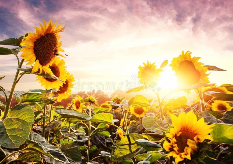 Heldere gele, oranje zonnebloembloem op zonnebloemgebied Mooi landelijk landschap van zonnebloemgebied in de zonnige zomer stock foto