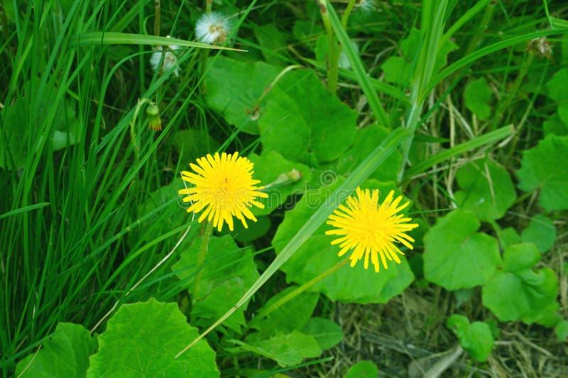 Heldere gele paardebloemen op groen gras Paardebloemen in de Lente bloeiende paardebloemenclose-up stock foto