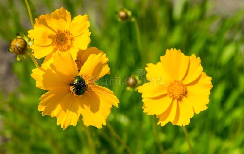 Heldere gele rudbeckia of de Zwarte Eyed bloemen van Susan in de tuin stock afbeeldingen