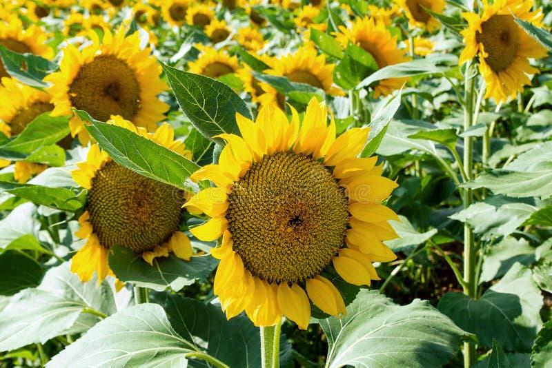 Heldere gele zonnebloemclose-up op een gebied stock foto