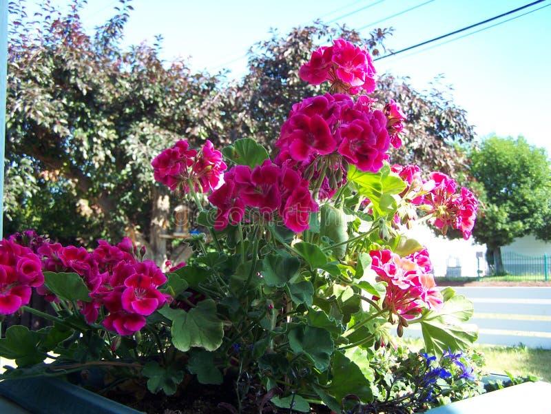 Heldere Geraniums in de planter royalty-vrije stock afbeelding