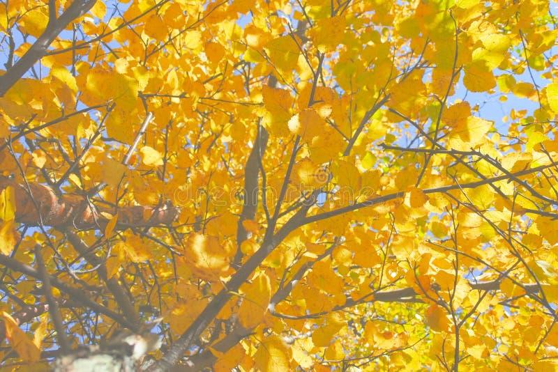 Heldere Gouden bladeren van Noordelijke espen op een Zonnige de herfstdag stock fotografie