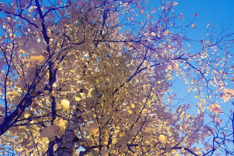 Heldere Gouden bladeren van Noordelijke espen op een Zonnige de herfstdag stock afbeeldingen