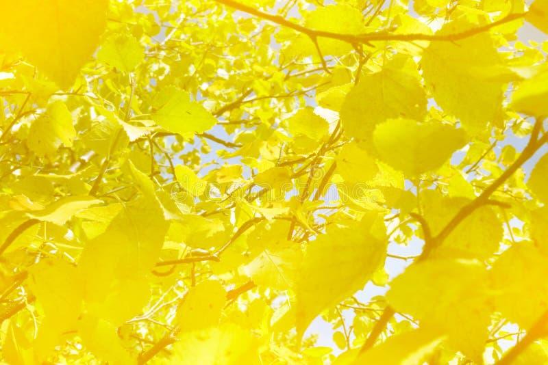 Heldere Gouden bladeren van Noordelijke espen op een Zonnige de herfstdag stock foto's